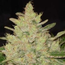 Blueberry Ghost OG Cannabis Seeds