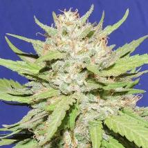 Wedding Cake Cannabis Seeds