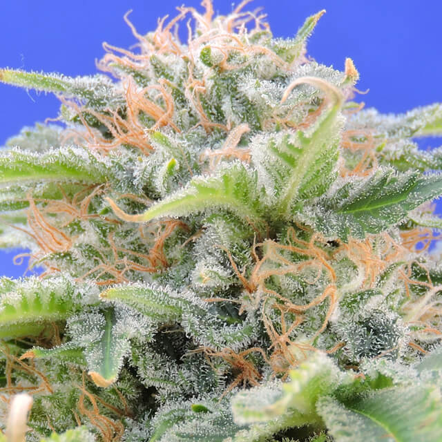 Buy Original Sensible Seeds Black Gum FEM
