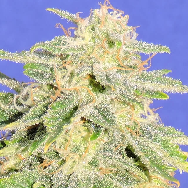 Buy Original Sensible Seeds Auto JH FEM