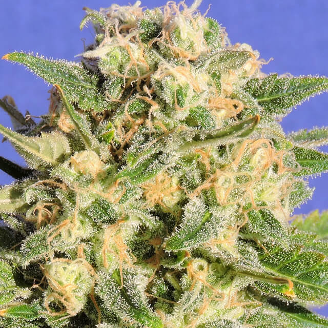 Buy Original Sensible Seeds Auto Destroyer FEM