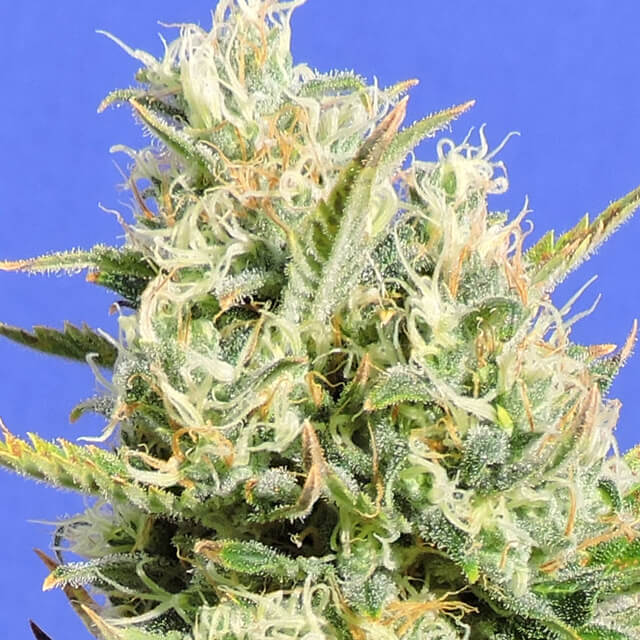 Buy Original Sensible Seeds CBD Lemon AID FEM
