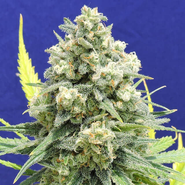 Buy Original Sensible Seeds White Critical FEM