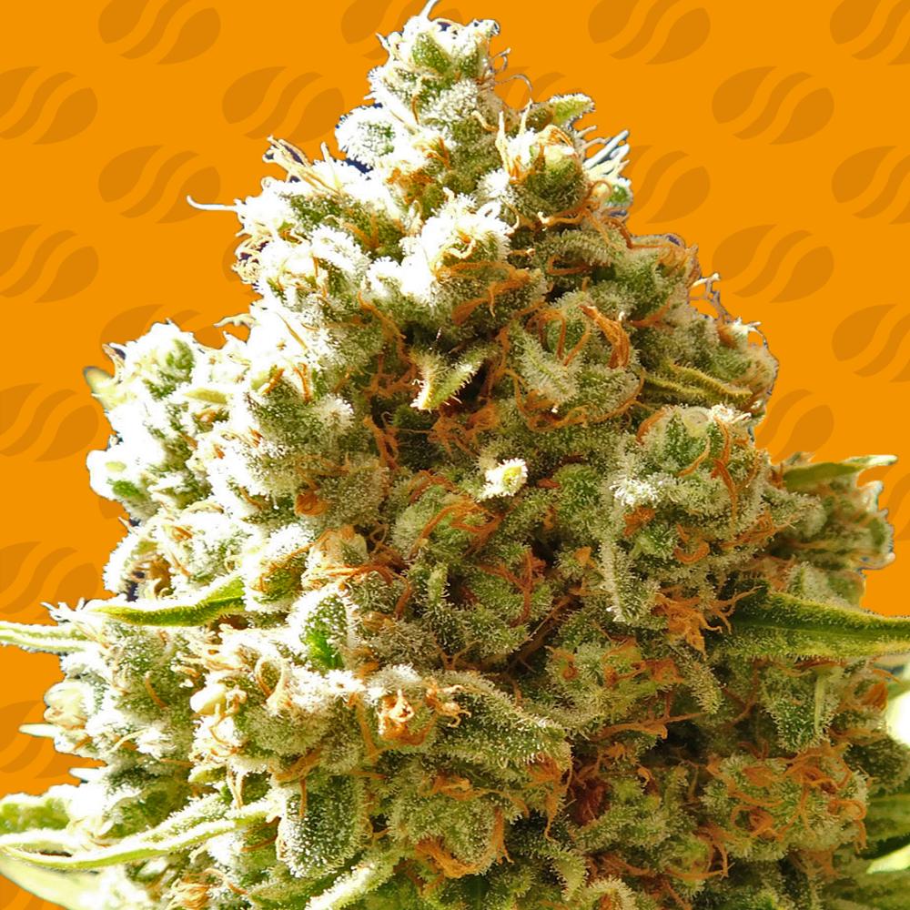 Pure Kush Graines de cannabis