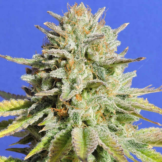 Buy Original Sensible Seeds Gorilla Glue #4 FEM