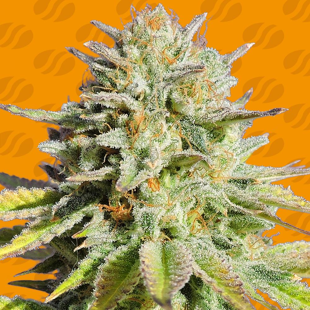 Gorilla Glue #4 Semillas de Marihuana