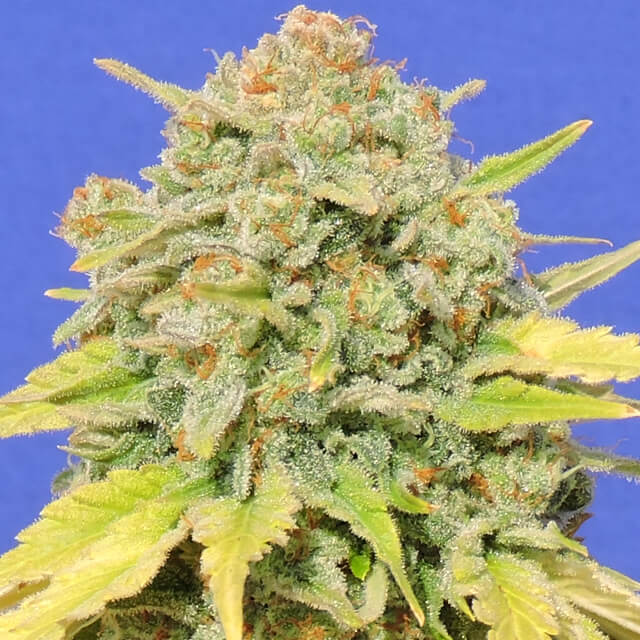 Buy Original Sensible Seeds Zkittlez FEM