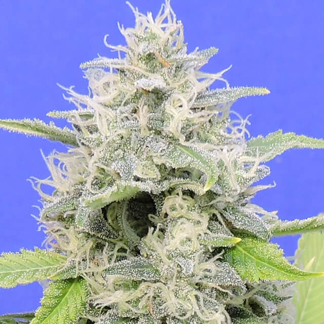 Buy Original Sensible Seeds Zkittzy Gorilla FEM
