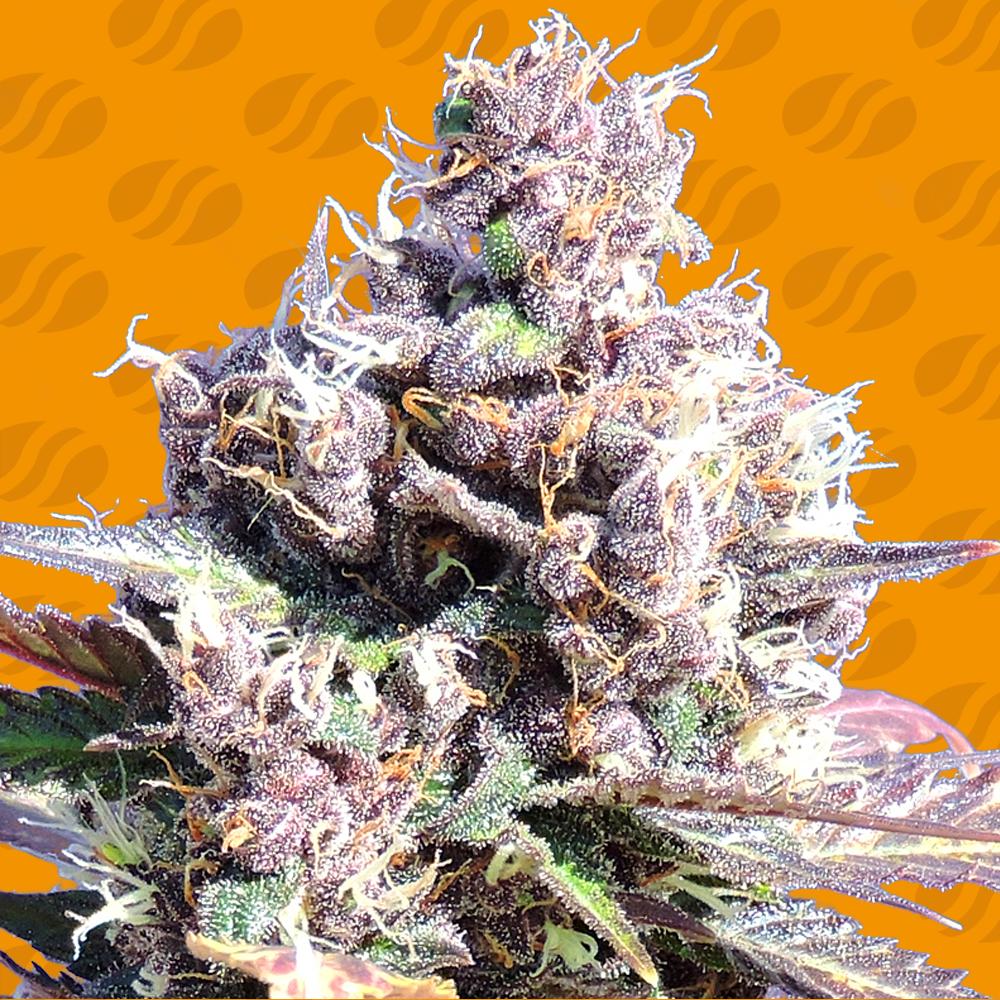 Gelato Semillas de Marihuana