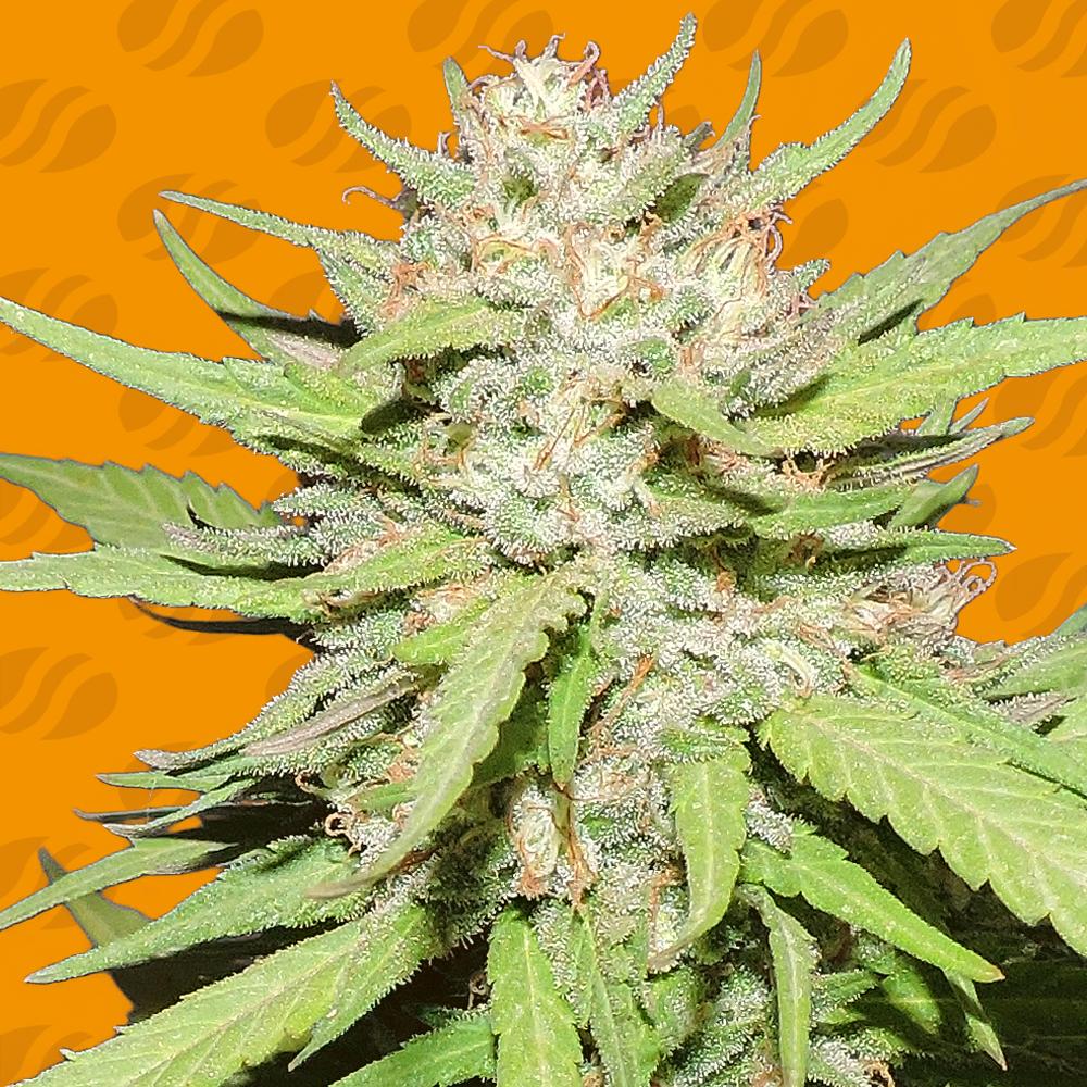Wedding Cake Graines de cannabis