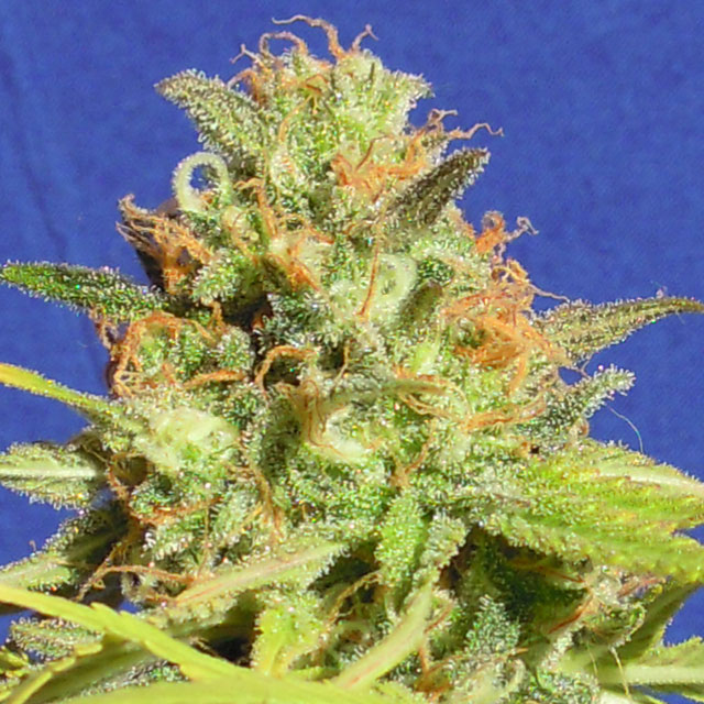 Buy Original Sensible Seeds Zkittlez Auto FEM