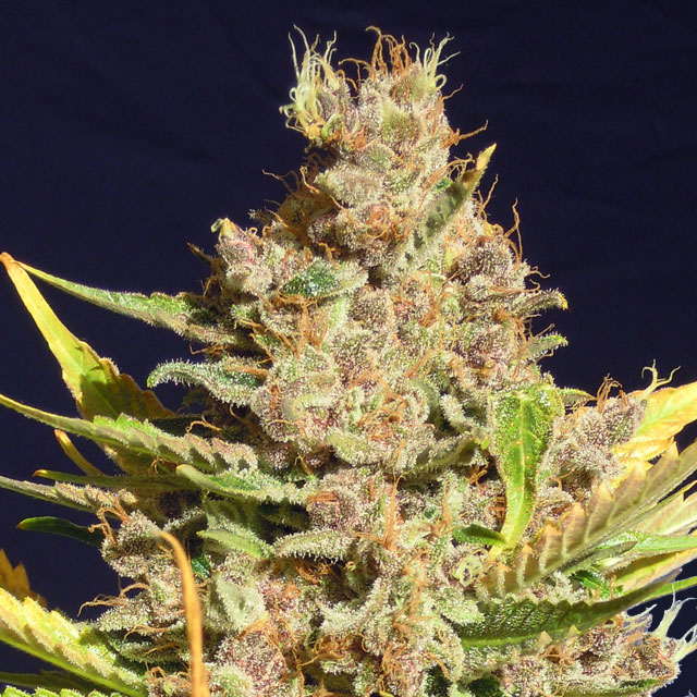Buy Original Sensible Seeds Alien Gorilla FEM