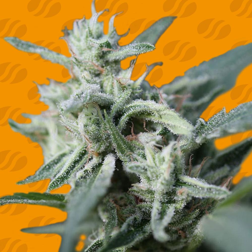 CannaFuel CBD+ Graines de cannabis