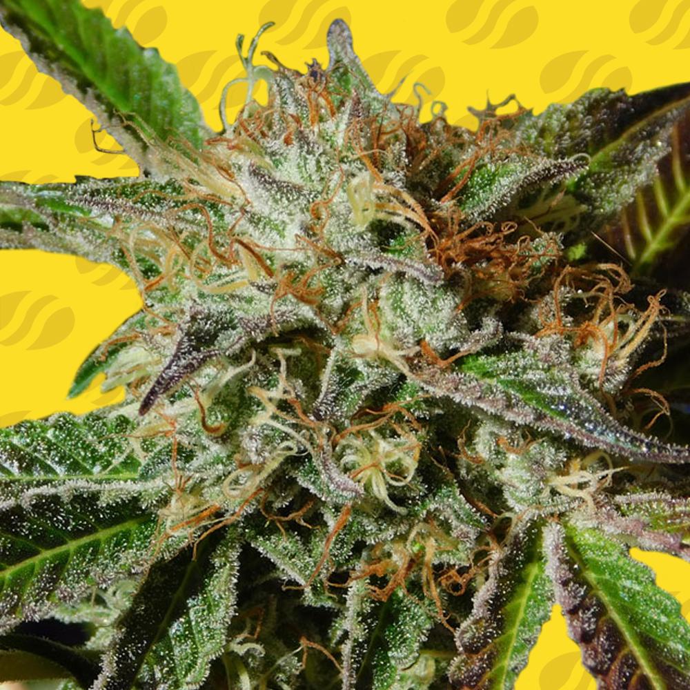 Auto Ghost Cookies Graines de cannabis