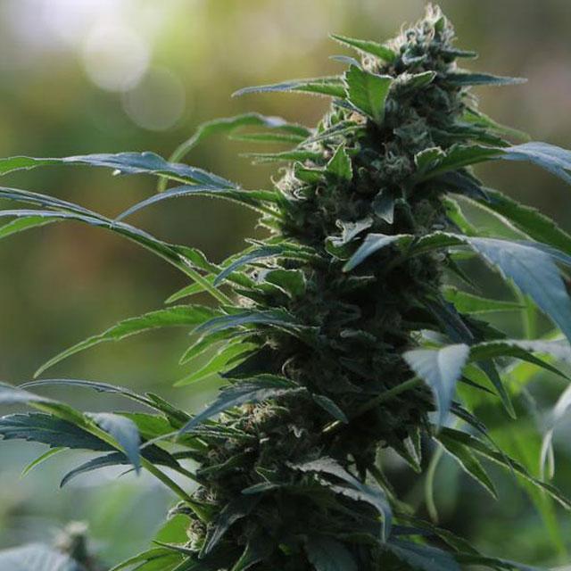 Auto CBG Nectar Graines de cannabis